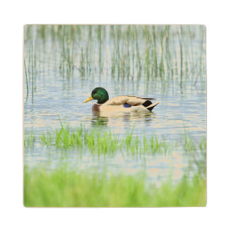 Male mallard or wild duck, anas platyrhynchos wood coaster