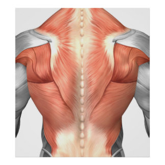Male Muscle Anatomy Of The Human Back 1 Poster