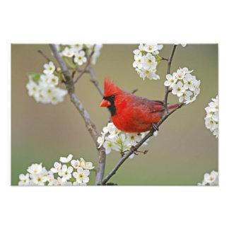 Male Northern Cardinal among pear tree Photo Print