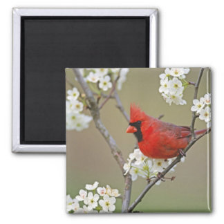 Male Northern Cardinal among pear tree Square Magnet