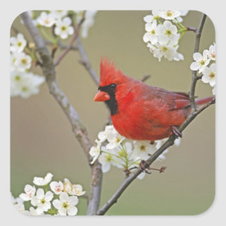 Male Northern Cardinal among pear tree Square Sticker