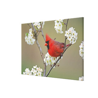 Male Northern Cardinal among pear tree Stretched Canvas Print