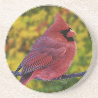 Male Northern Cardinal in autumn, Cardinalis Coaster
