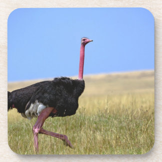 Male Ostrich in breeding plumage, Struthio Coaster