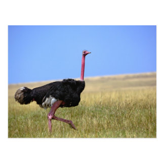 Male Ostrich in breeding plumage, Struthio Postcard