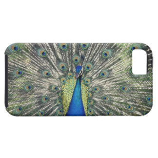 Male Peacock displaying (Pavo cristatus) iPhone 5 Covers