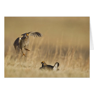 Male prairie chickens at lek in Loup County Greeting Card