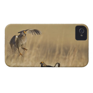 Male prairie chickens at lek in Loup County Case-Mate iPhone 4 Case