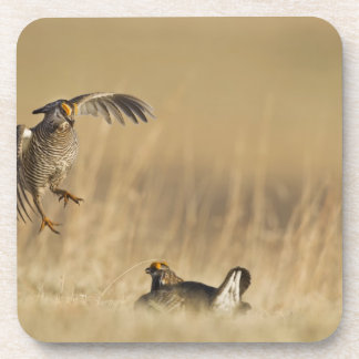 Male prairie chickens at lek in Loup County Drink Coasters