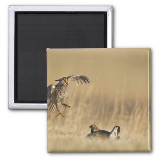 Male prairie chickens at lek in Loup County Fridge Magnet