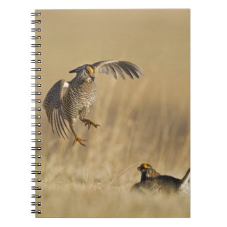 Male prairie chickens at lek in Loup County Notebooks