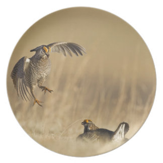 Male prairie chickens at lek in Loup County Plates