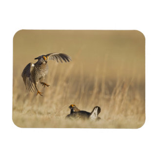 Male prairie chickens at lek in Loup County Rectangular Photo Magnet