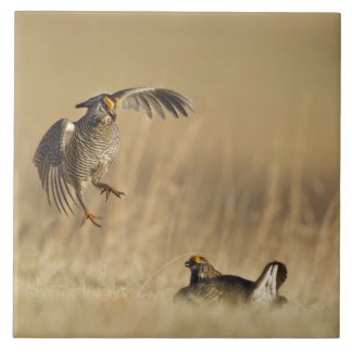 Male prairie chickens at lek in Loup County Large Square Tile