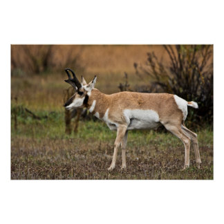 Male Pronghorn, Willow Flats, Grand Teton Poster