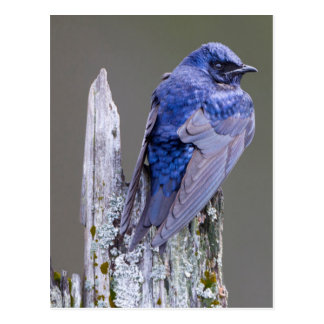 Male Purple Martin nest over Lake Sammamish Postcard