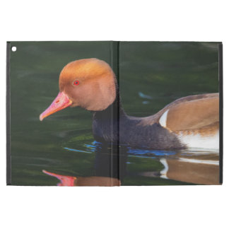 Male red-crested pochard, netta rufina, duck