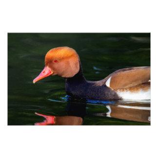 Male red-crested pochard, netta rufina, duck stationery