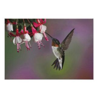 Male Ruby throated Hummingbird, Archilochus 2 Photographic Print
