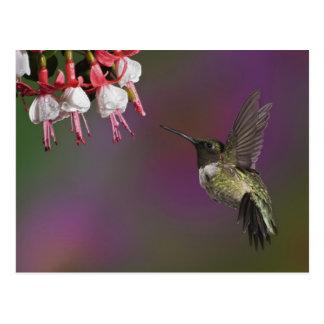 Male Ruby throated Hummingbird, Archilochus 2 Postcard