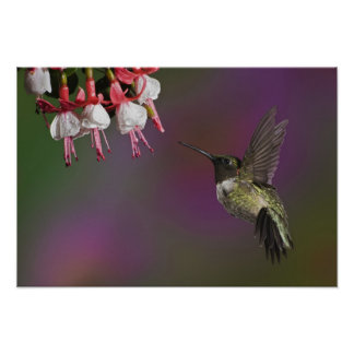 Male Ruby throated Hummingbird, Archilochus 2 Poster