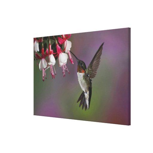 Male Ruby throated Hummingbird, Archilochus Gallery Wrap Canvas