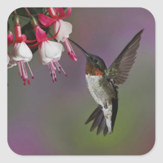 Male Ruby throated Hummingbird, Archilochus Square Stickers