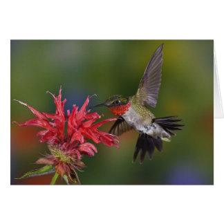 Male Ruby-throated Hummingbird feeding on Cards