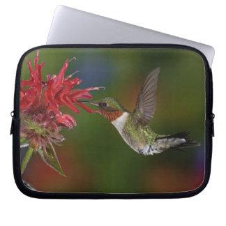 Male Ruby-throated Hummingbird feeding on Laptop Sleeves