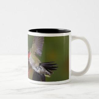 Male Ruby-throated Hummingbird feeding on Coffee Mugs
