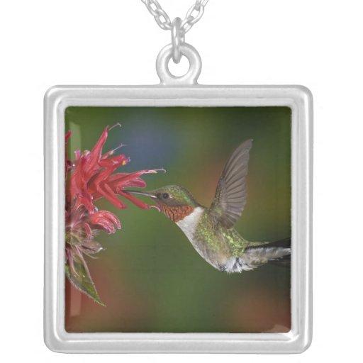 Male Ruby-throated Hummingbird feeding on Pendants