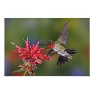 Male Ruby-throated Hummingbird feeding on Photo Art