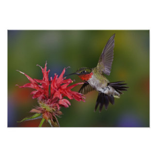 Male Ruby-throated Hummingbird feeding on Posters