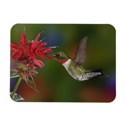 Male Ruby-throated Hummingbird feeding on Rectangular Magnet
