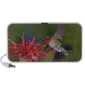 Male Ruby-throated Hummingbird feeding on Mini Speakers