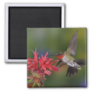 Male Ruby-throated Hummingbird feeding on Square Magnet
