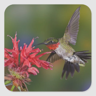 Male Ruby-throated Hummingbird feeding on Square Sticker
