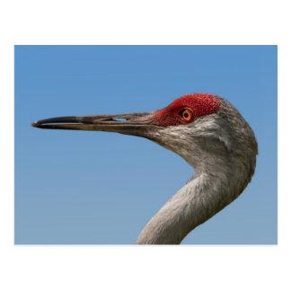 Male Sandhill Crane Postcard
