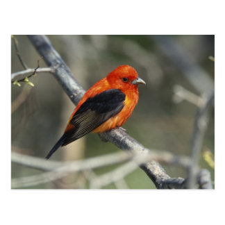 Male Scarlet Tanager, Piranga olivacea Postcard