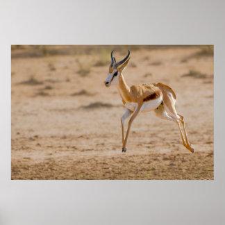 Male Springbok (Antidorcas Marsupialis) Jumping Poster