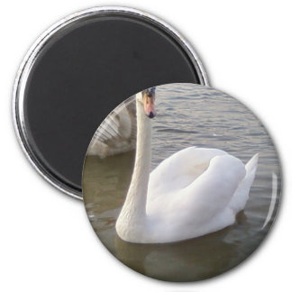 Male White Swan With Young Swans Refrigerator Magnets