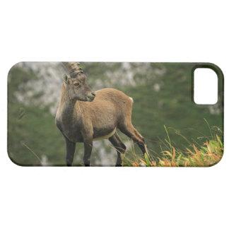 Male wild alpine, capra ibex, or steinbock iPhone 5 case