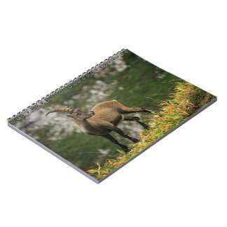 Male wild alpine, capra ibex, or steinbock notebooks