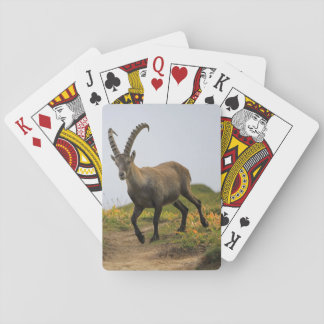 Male wild alpine, capra ibex, or steinbock playing cards