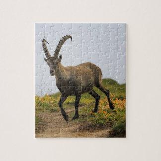 Male wild alpine, capra ibex, or steinbock puzzle