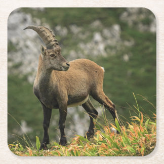 Male wild alpine, capra ibex, or steinbock square paper coaster