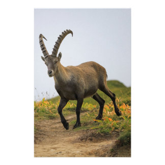 Male wild alpine, capra ibex, or steinbock stationery