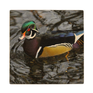 Male Wood Duck At Crystal Springs Rhododendron Wood Coaster