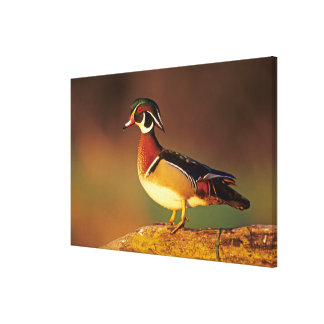 Male wood duck, Illinois Canvas Print
