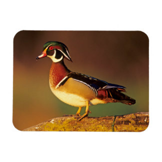 Male wood duck, Illinois Magnet